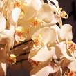 Close-up of white orchid blossoms — Stock Photo #11394640