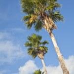 Palm Trees — Stock Photo #10956643
