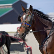 Harness Racing — Stock Photo #11151631