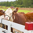 Polled Hereford — Stock Photo #11815553