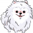 White Pomeranian — Stock Photo