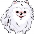 Stock Photo: White Pomeranian