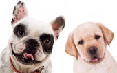 Labrador retriever and french bull dog puppy dogs — Stock Photo