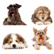 Four cute puppy dogs on white background — Stock Photo #11377919