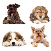 Four cute puppy dogs on white background — Stock Photo