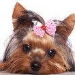 Stock Photo: Cute yorkshire terrier puppy dog looking a little sad