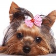 Cute yorkshire terrier puppy dog looking a little sad — Stock Photo