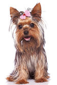 Yorkshire terrier puppy dog sitting and panting — Stock Photo