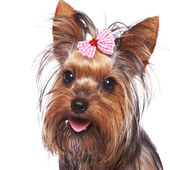 Baby face yorkshire terrier puppy dog — Stock Photo