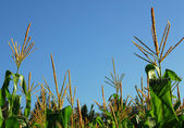 Corn plants — Stock Photo