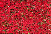 Wall of Roses — Stock Photo