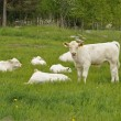 White cows — Stock Photo #10890021
