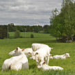 White cows — Stock Photo