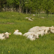 White cows — Stock Photo #10890201