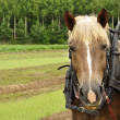Working horse — Stock Photo