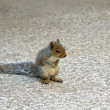 Baby Grey Squirrel - Stock Photo