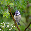 Blue Tit in Hawthorn - Stock Photo