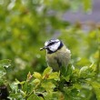Blue Tit in Rain - Stock Photo