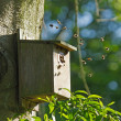 Bumblebees in Bird Nest Box - Stock Photo