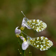 Orange-tip Butterflies Underwing - Stock Photo