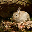 Young Rabbit in Woodland - Stock Photo