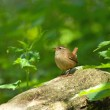 Winter Wren in Woodland - Stock Photo