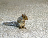 Baby Grey Squirrel — Stock Photo