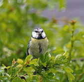 Blue Tit with Food in Rain — Stock Photo