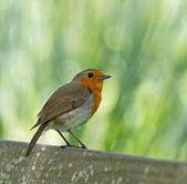 European Robin Perched — Stock Photo