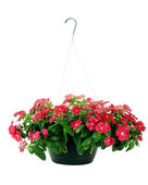 Hanging Impatiens — Stock Photo