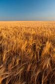 Hermoso campo de grano de oro se extiende al horizonte los colores en día soleado de verano — Foto de Stock