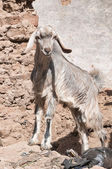 Cute little goat — Foto Stock