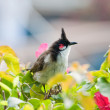 Red-whiskered Bulbul — Stock Photo