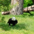 American bald eagle on the ground - Zdjęcie stockowe