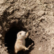 Stock Photo: Baby prairie dog
