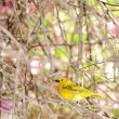 Stock Photo: Grassland Yellow Finch