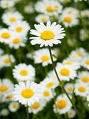 Ox - eye daisy, floral scenery, background — Stock Photo