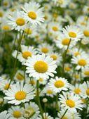 Ox - eye daisy, floral scenery, background — Stock Photo
