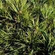 Stock Photo: Green pine needles texture