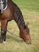 茶色の馬が牧草地に餌 — ストック写真