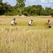 Stock Photo: Rice harvesting