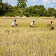 Rice harvesting — Stock Photo #11931321