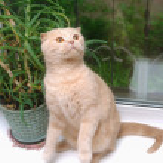 Portrait of a Red Scottish fold cat — Stock Photo