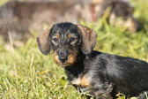 Wire-haired dachshund — Stock Photo