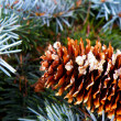 Detail of cone and silver spruce — Stock Photo #12226994