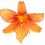 Orange lilies flower — Stock Photo