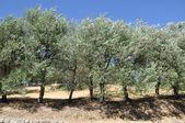 Olive trees sunny south europe — Stock Photo