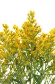 The yellow-flowered weed — Stock Photo