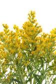 La hierba de flores amarillas — Foto de Stock