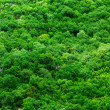 Stock Photo: Tree tops